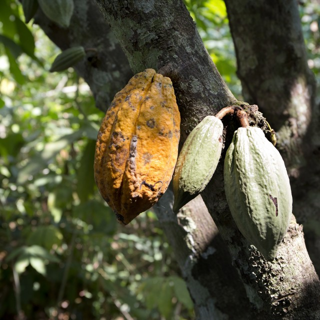 Research into forced labor in the cocoa industry